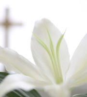 Web Sisters Of St Joseph Easter Lily